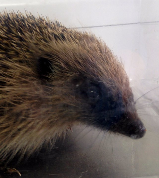 A little hedgehog being weighed at the wildlife hospital...